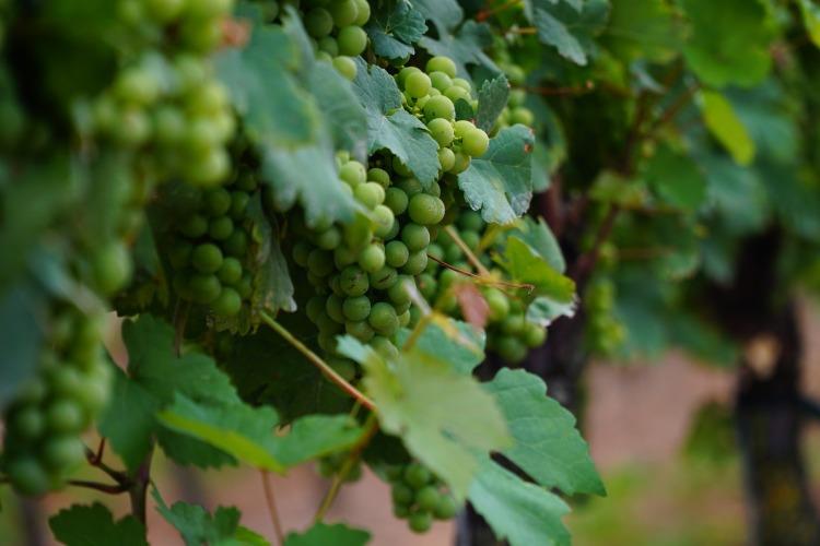 wine-leaf-3555602_1920.jpg